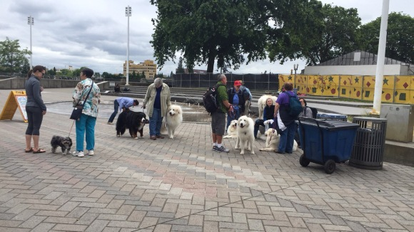 great pyrenees dogs market saturday portland